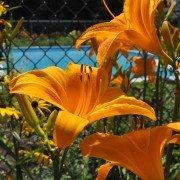 Pleasant Garden Daylilies